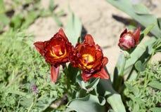 Fioritura rossa dei tulipani nell'aiola Fioritura dei tulipani Fotografia Stock Libera da Diritti