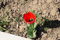 Fioritura rossa dei tulipani nell'aiola Fioritura dei tulipani Fotografia Stock