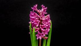Fioritura rossa del fiore del giacinto stock footage