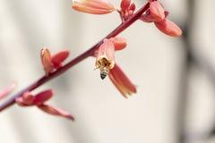 Fioritura rossa dell'yucca - Hesperaloe Parviflora - Texas Honey Bee immagini stock