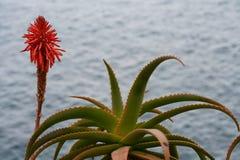 Fioritura rossa di vera dell'aloe Fotografia Stock