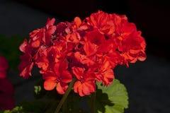 Fioritura rossa luminosa dei fiori Fotografia Stock Libera da Diritti