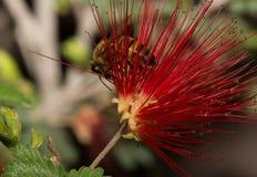 Fioritura rossa splendida della pianta dello spolveratore della piuma Fotografia Stock