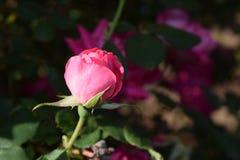 Fioritura sbalorditiva del germoglio della rosa di rosa Fotografia Stock