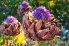 Fioritura selvaggia dei fiori del carciofo immagini stock libere da diritti