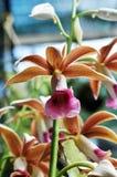 Fioritura selvaggia di cattlyea dell'orchidea Immagini Stock Libere da Diritti