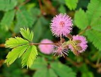Fioritura sensibile dei fiori della pianta Immagini Stock