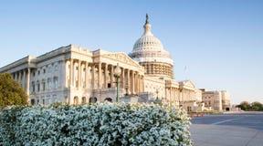 Fioritura Spirea della primavera di Buidling del Campidoglio degli Stati Uniti Immagine Stock Libera da Diritti