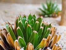 Fioritura succulente della regina Victoria dell'agave, nella piantatrice dell'interno della sabbia molle immagine stock libera da diritti
