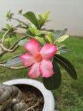 Fioritura tropicale dei fiori Fotografia Stock Libera da Diritti