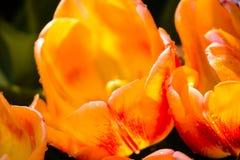 Fioritura tulipano rosso e giallo nella pioggia fotografia stock libera da diritti