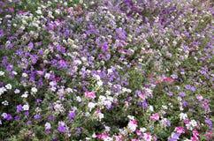 Fioritura variopinta dei fiori Fotografia Stock