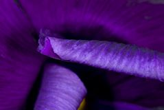 Fioritura viola del fiore Fotografie Stock Libere da Diritti