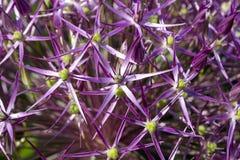 Fioritura viola del fiore dell'allium Fotografia Stock Libera da Diritti