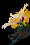 Fioriture arancioni dell'ibisco Fotografie Stock Libere da Diritti