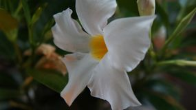 fioriture bianche fotografia stock libera da diritti