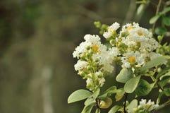 Fioriture bianche del mirto di crêpe contro verde verde oliva Fotografie Stock Libere da Diritti