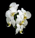 Fioriture bianche dell'orchidea. Immagine Stock Libera da Diritti