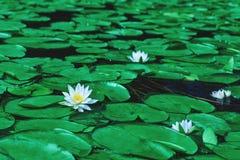 Fioriture bianche impressionanti della ninfea in uno stagno Loto bianco che ha fotografie stock libere da diritti