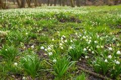 Fioriture dei fiori del fiocco di neve in foresta fotografia stock libera da diritti