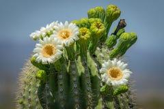 Fioriture del cactus del saguaro Fotografie Stock Libere da Diritti