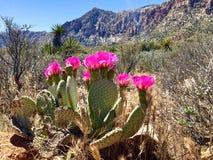 Fioriture del cactus nel parco nazionale rosso della roccia immagini stock libere da diritti