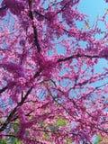 Fioriture del ciliegio con gli alimentatori rosa del giardino botanico e dell'uccello dei fiori in primavera dalle latte riciclat fotografie stock