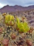 Fioriture del deserto Fotografia Stock Libera da Diritti