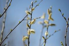 fioriture del salice Immagini Stock Libere da Diritti
