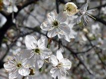 Fioriture del susino in primavera, Lituania Immagine Stock
