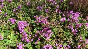 Fioriture del timo in una radura della foresta I fiori sono sparsi in tutto il paese archivi video