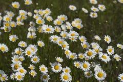 Fioriture del Wildflower della margherita dei campi dell'Alabama Immagine Stock Libera da Diritti