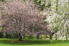Fioriture dell'albero della sorgente Fotografia Stock Libera da Diritti