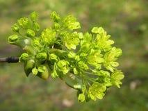 Fioriture dell'albero di acero in primavera, Lituania Immagini Stock