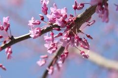 Fioriture dell'albero di Redbud fotografia stock
