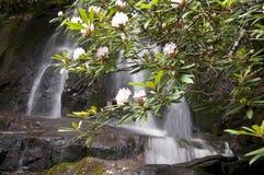 Fioriture dell'alloro di montagna accanto a Laurel Falls Immagine Stock