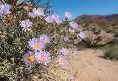 Fioriture dell'aster di Mojave nel deserto di California fotografia stock