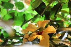 Fioriture dell'ibisco con un fiore giallo delicato Fotografia Stock Libera da Diritti