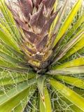 Fioriture dell'yucca che spingono da parte a parte immagine stock