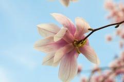 Fioriture della magnolia Immagine Stock Libera da Diritti