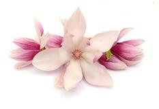 Fioriture della magnolia Immagini Stock