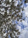 Fioriture della magnolia Fotografia Stock