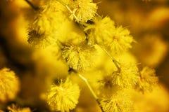 Fioriture della mimosa Fotografia Stock