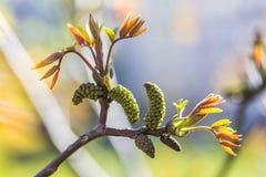 Fioriture della noce Il giovane delle noci va ed inflorescenza su un fondo della città fiore della noce sul ramo dell'albero immagini stock libere da diritti