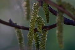 Fioriture della noce Il giovane delle noci va ed inflorescenza su un fondo della città fiore della noce sul ramo dell'albero in p fotografie stock libere da diritti