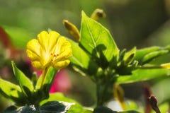 Fioriture della petunia nel giardino in primavera fotografia stock libera da diritti