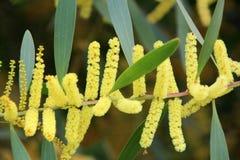 Fioriture delle specie australiane dell'acacia fotografie stock