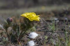 Fioriture di adonis vernalis nella steppa fotografia stock