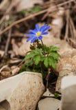 Fioriture di blanda dell'anemone Fotografia Stock
