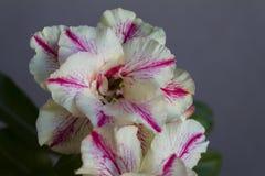 Fioriture di obesum del adenium del fiore fotografia stock
